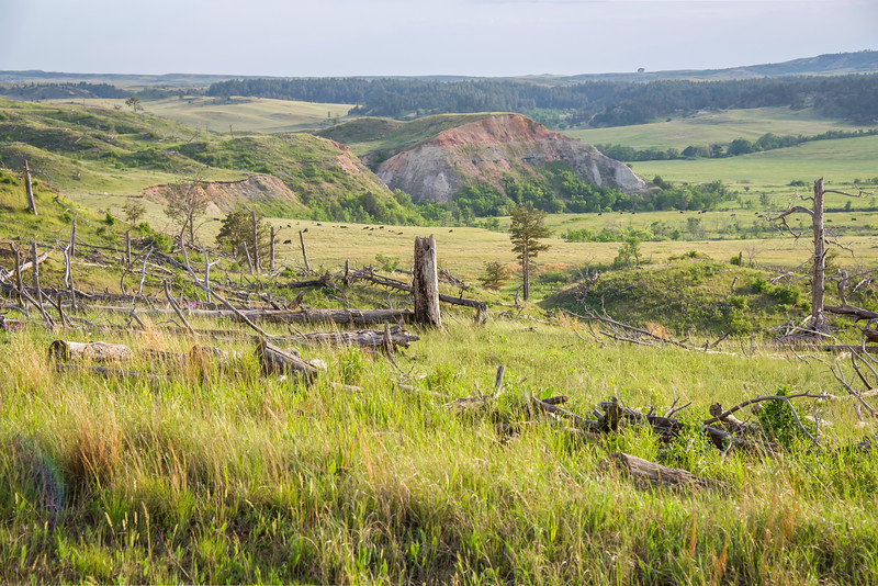 Aging Pines in the Badlands of North Dakota