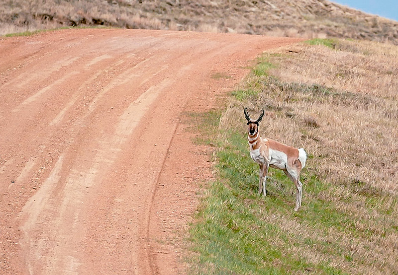 Curious Antelope South of the Petrified Forest, Theodore Roosevelt National Park, South Unit
