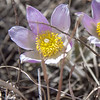 Crocus Up Close in the Badlands of North Dakota