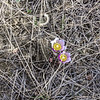 Two Young Crocuses