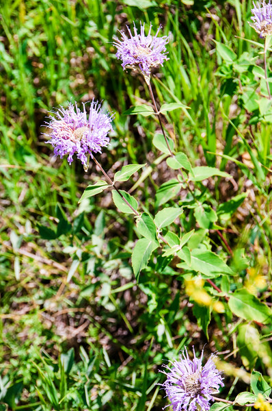 Bees love purple burgamot flowers.  When it dries down, birds are drawn to the seeds.