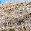 Pasque Flowers Blanket a Hill in the North Dakota Badlands