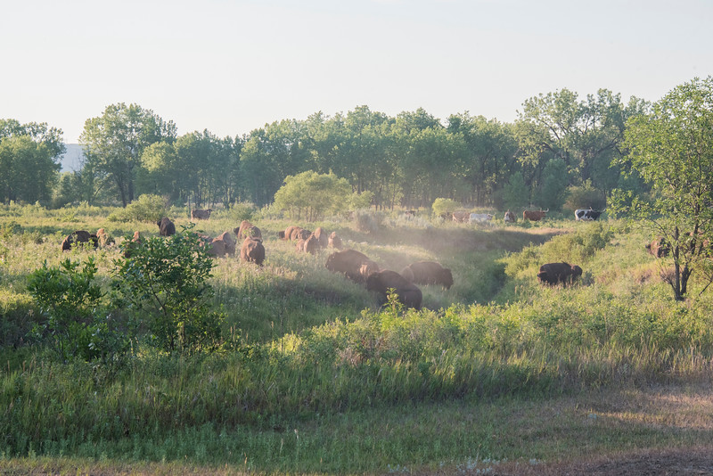 Bison, dust and longhorns