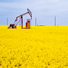 Yellow canola field surrounds oil pump