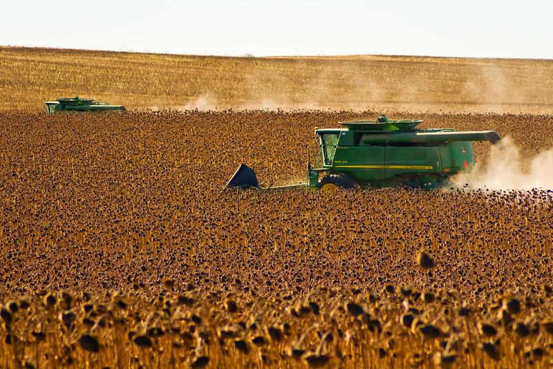 Sunflower Harvest in Western North Dakota