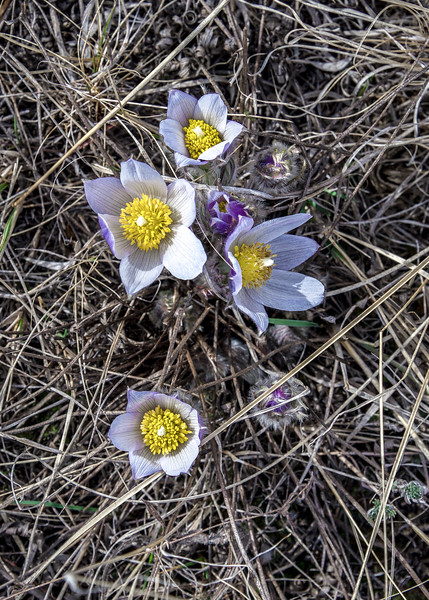 Crocus Bloom on Summit Trail in North Dakota