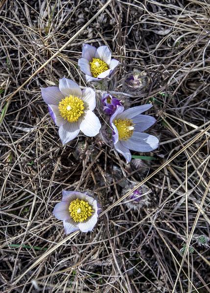 Crocus Bloom on Summit Trail in North Dakota