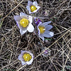 crocus blooming on summit trail