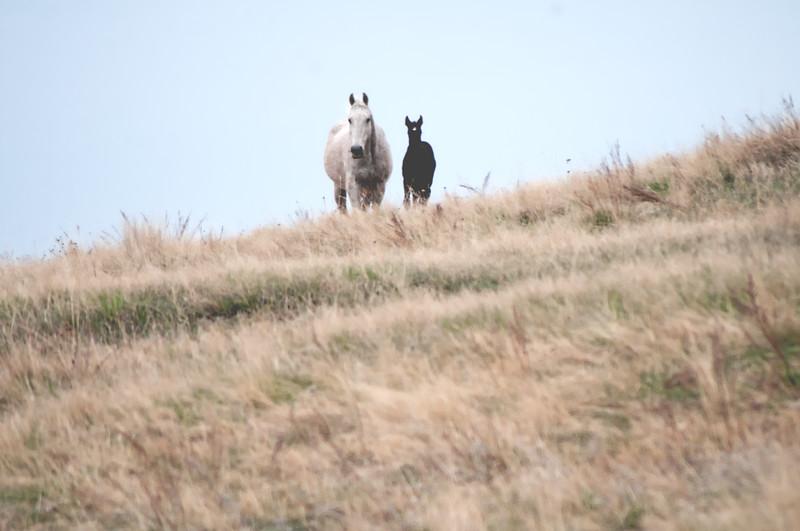 White mare black colt