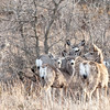 Four mule deer are evident, but can you see the other two?  They weren't afrad.  This part of a herd that stood for it's photo while I was exploring a hard-to reach gravel road that follows the Little Missouri River.