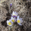 Crocus Up Close in the North Dakota Badlands