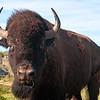 American Bison in the Badlands of North Dakota