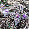 crocus buds on summit trail