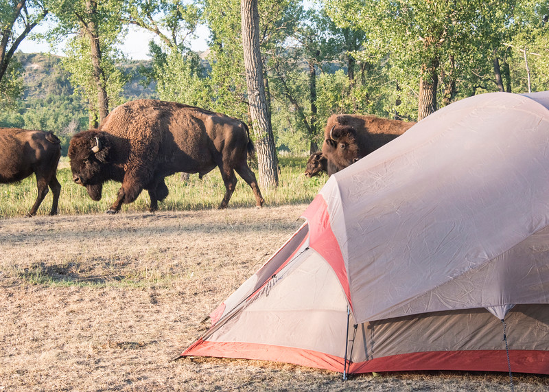 Bison walk past my tent