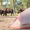 Bison walk past my tent