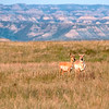 "Two pronghorn antelope south of the Elkhorn Ranch site watch us go by.<br /> <br /> You can own this image. Just click the ""buy"" button to browse and shop."
