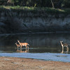 Early Morning Deer Trio on the Little Missouri River, North Dakota