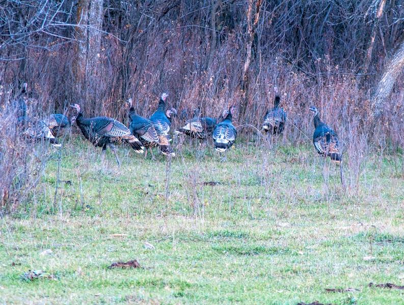 Wild Badlands Turkeys