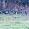 Wild Badlands Turkeys