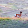 """The last rays of sunshine gleam on this pronghorn antelope.<br /> <br /> You can own this image. Just click the """"buy"""" button to browse and shop."""