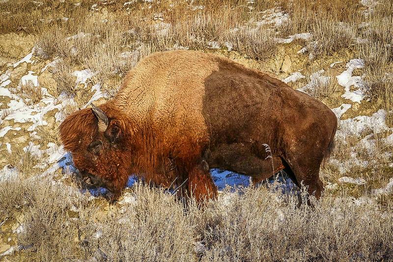 Sleepy Bull Bison Basking in the December Sun