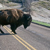 In the South Unit of the Theodore Roosevelt National Park, this bull crosses the road -- one of the hundreds of reasons to drive slowly around the curves and over the hills in the park.