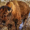 Bison Glows in Afternoon at Theodore Roosevelt National Park
