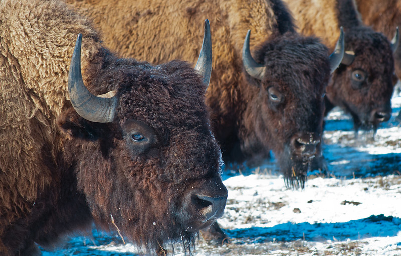 South and east of Killdeer, North Dakota near Lake Ilo, a domesticated herd of American Bison warily watch me as I get up close enough for their profile photo