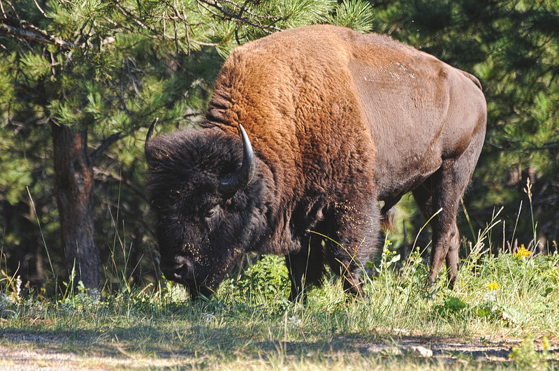 In South Dakota's Custer State Park, a bull buffalo leaves the forest to cross the highway