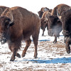 It's the end of winter, and buffalo are moving to new grazing along Lake Ilo in western North Dakota.  Visible fogs of breath and their snow crusted hide indicate they've got what it takes to make it through the harsh cold.