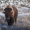 Bison Greeting in the Winter Badlands  #1