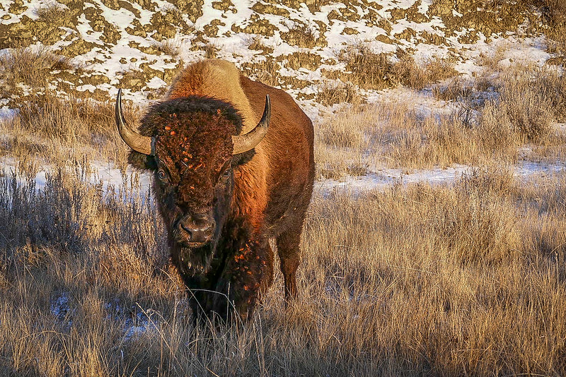 Bison Glowing in the Golden Hour