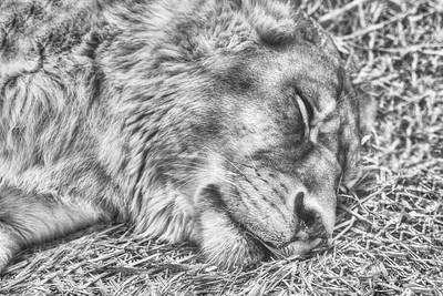 Lion King - Nap time