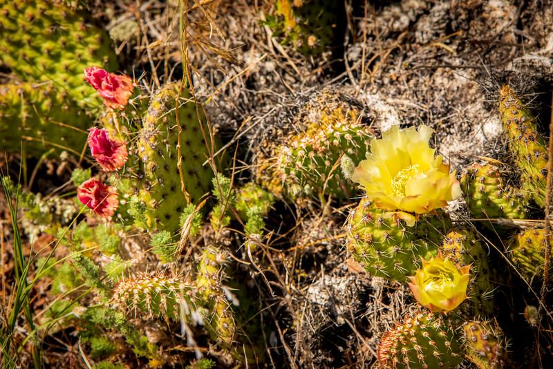 Prickly Pear Cactus Bllom