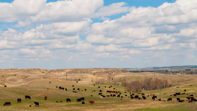 Eastern Montana and Richland County near Sidney is prime cattle country.