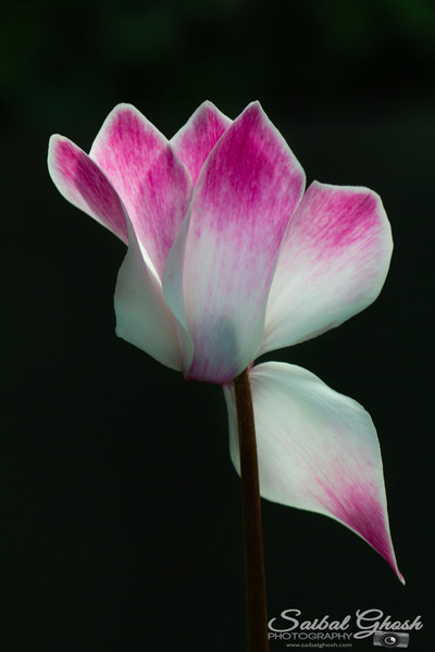 Cyclamen Flower Portrait