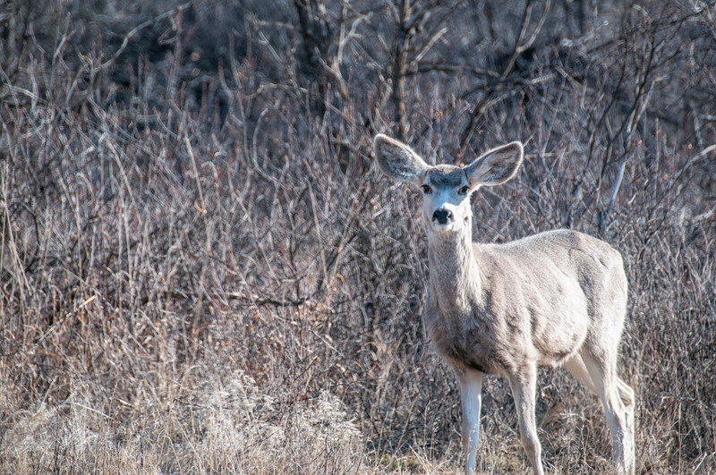 """A mule deer watches us drive down the road.<br /> <br /> You can own this print. Just click """"buy."""""""
