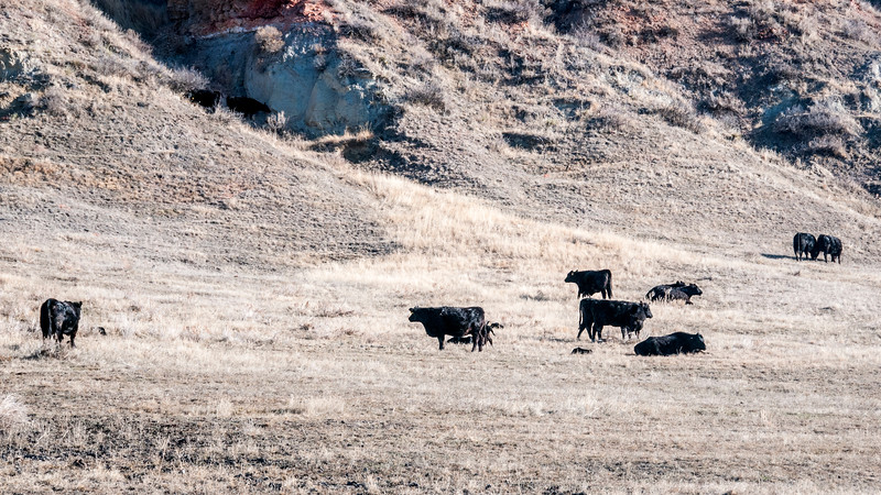 """Three V cattle grazing with newborn calves.<br /> <br /> You can own this print. Just click """"buy."""""""