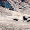 "Three V cattle grazing with newborn calves.<br /> <br /> You can own this print. Just click ""buy."""