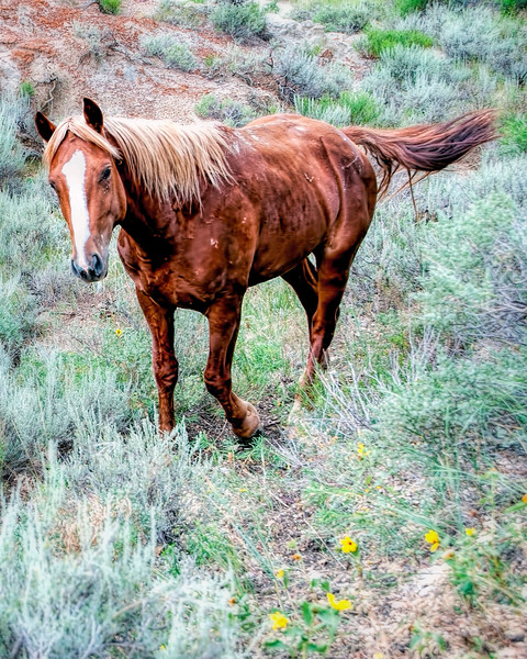 Connecticut, Wild Horse of Theodore Roosevelt National Park, North Dakota