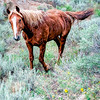Connecticut, Wild Horse of Theodore Roosevelt National Park, North Dakota