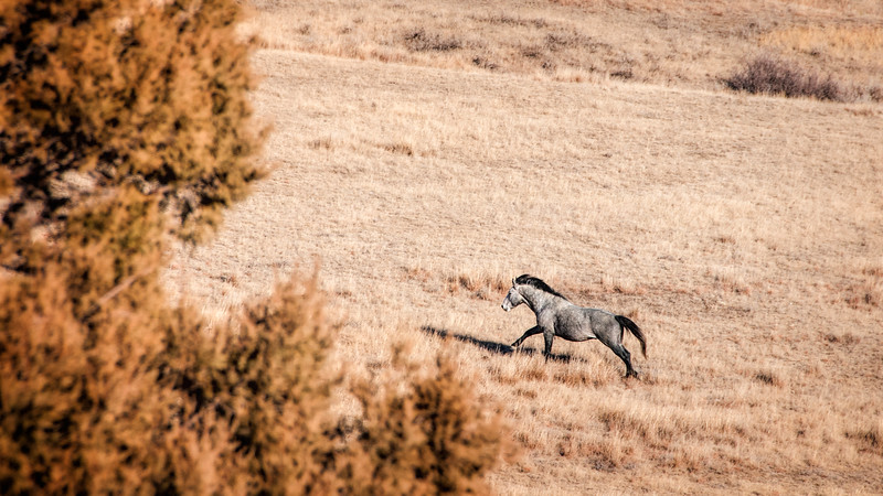 "Autumn in the south unit of the Theodore Roosevelt National Park, horses run up  the hill.<br /> <br /> You can collect this image as a print, canvas wrap or another item. Just click the ""buy"" button."