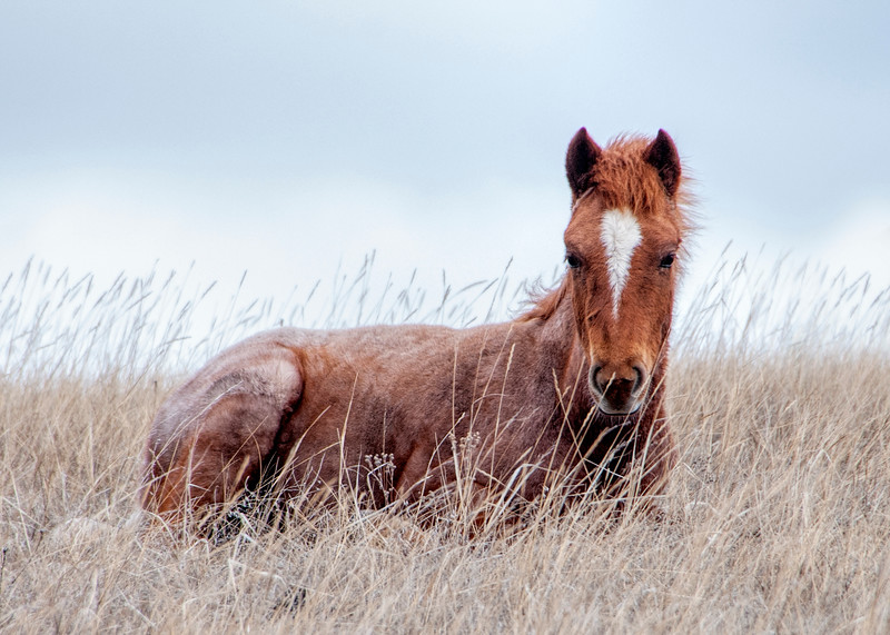 Red colt laying in grass
