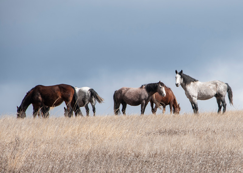 """A herd of wild horses at the South Unit of the Theodore Roosevelt National Park includes one pregnant mare.<br /> <br /> You can own this image. Just click """"buy"""" to see the wall decor and other products available for this image."""