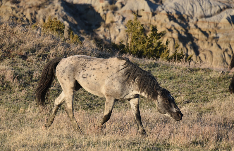 """A wild horse stallion<br /> <br /> You can own this image. Just click """"buy"""" button to browse all the options."""
