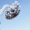 frosty sunflower head blue sky