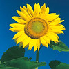 Sunflower Yellow on a Blue Sky
