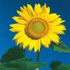 Sunflower Yellow on a Blue Sky