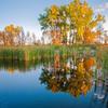 Cottonwood trees autumn refletion