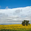 North Dakota Summer Sunflower Field